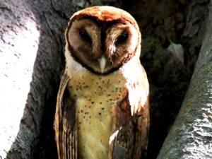 http://www.samuelbirding.com/wp-content/uploads/2016/12/Minahasa-masked-owl.jpg