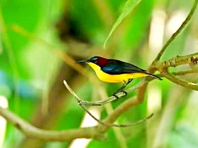 http://www.samuelbirding.com/wp-content/uploads/2016/12/elegant-sunbird.jpg