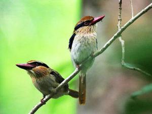 http://www.samuelbirding.com/wp-content/uploads/2016/12/lalic-chicked-kingfisher.jpg