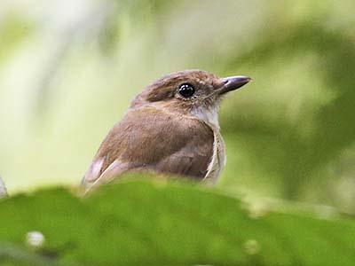 http://www.samuelbirding.com/wp-content/uploads/2016/12/mountainan-flycatcher.jpg