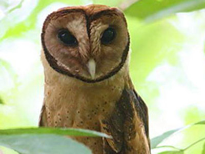 Minahasa masked-owl feat