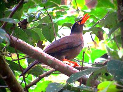 Sulawesi Thrush